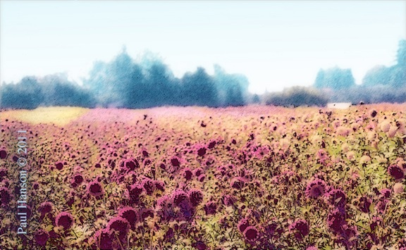 Digital art print of a photo of a dahlia field that has been manipulated to give it a lithographic look.  Printed on archival, high quality paper.